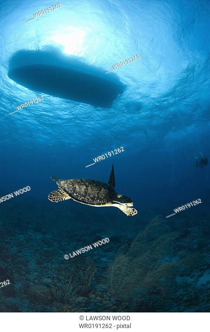 Hawksbill Turtle Eretmochelys imbriocota, swimming over coral reef with boat silouhette above, Little Cayman Island, Cayman Islands, Caribbean