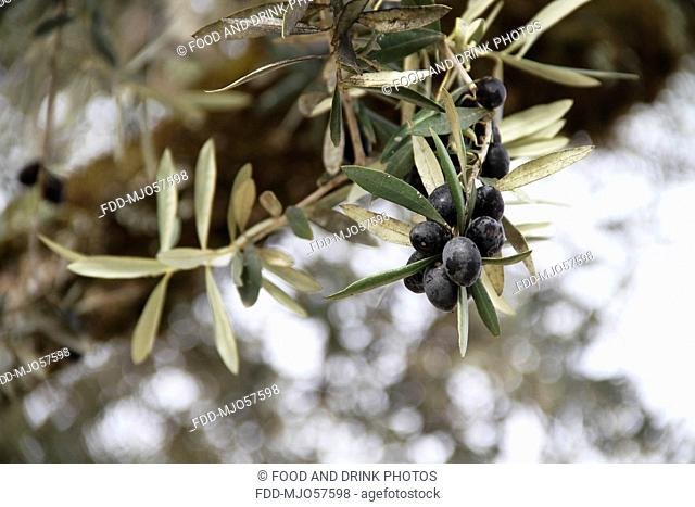 Black Olives growing in an olive grove