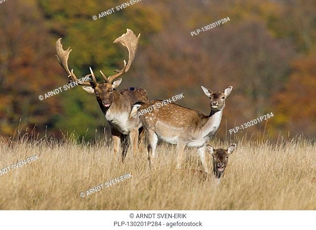 Fallow deer Dama dama buck checking out doe in heat by flicking tongue during the rut in autumn, Denmark