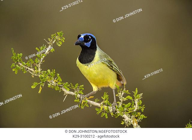 Green Jay (Cyanocorax yncas), Santa Clara Ranch, Starr County, Texas, USA