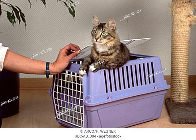 Norwegian Forest Cat coming out of transport kennel