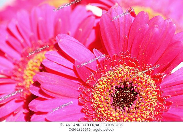 beautiful pink gerberas full bloom - positive and flourishing