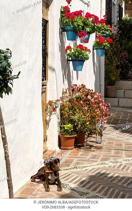 Street dog lying in the sun and geranium flowers in a pot. White Village of Mijas, Malaga province, Costa del Sol, Andalusia, Spain Europe