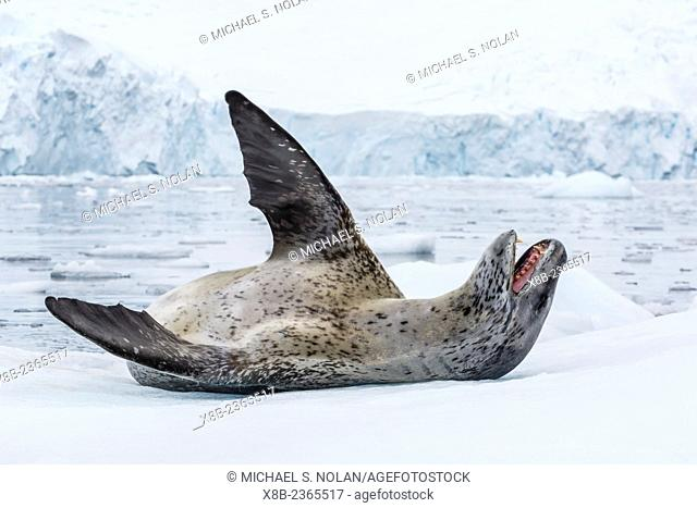 Adult leopard seal, Hydrurga leptonyx, hauled out on ice in Paradise Bay on the western side of the Antarctic Peninsula, Antarctica