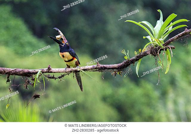 Collared Aracari, Pteroglossus torquatus, sitting in a tree, with banana in the beak, at Laguna del Lagarto, Boca Tapada, San Carlos, Costa Rica