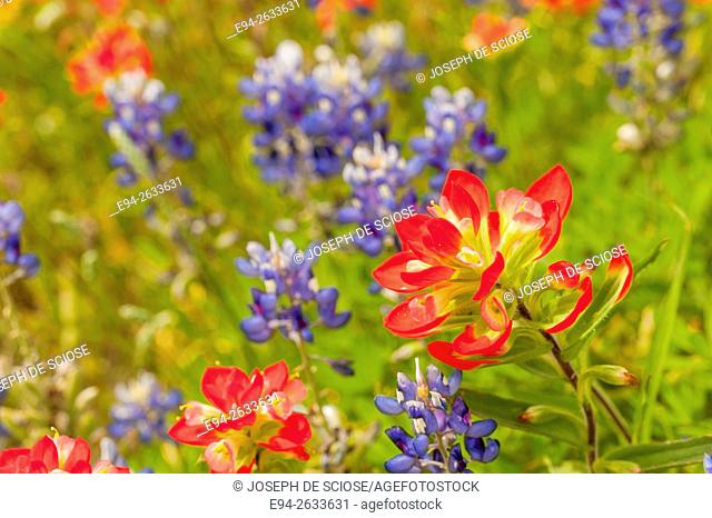 Indian paintbrush flowers in a field of wildflowers in Texas in the spring, USA