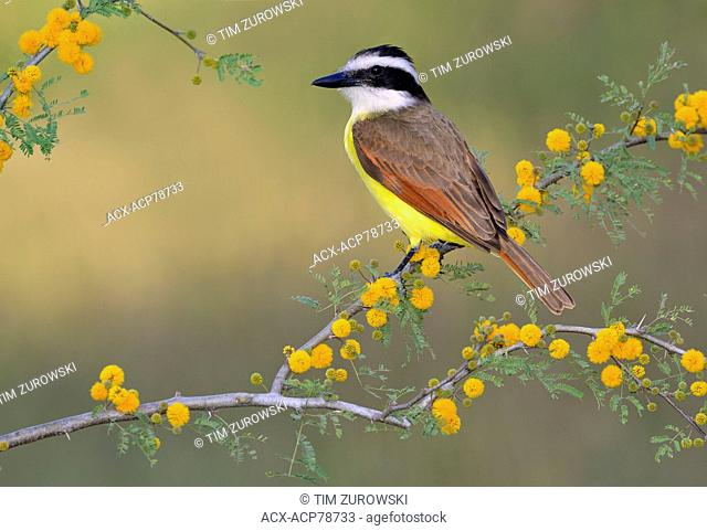 Great Kiskadee, Pitangus sulphuratus, Rio Grande Valley, Texas