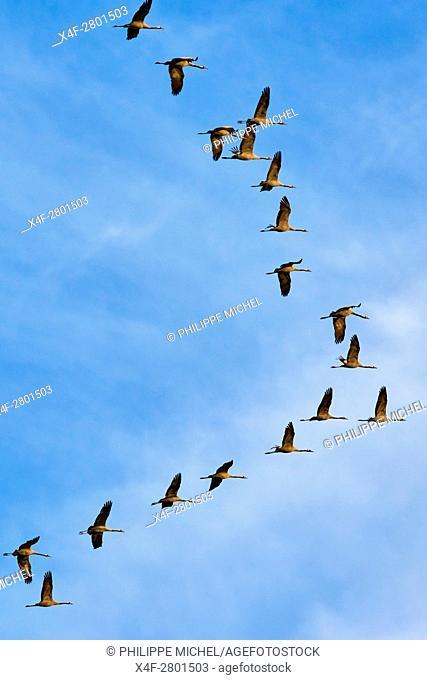 France, Indre (36), le Berry, Brenne, natural park, common crane