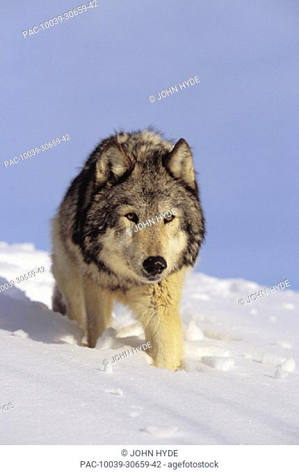Alaska, Gray wolf stalking prey in deep winter snow