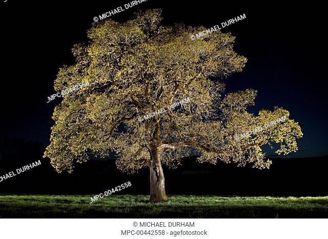 Oregon Oak (Quercus garryana) in the Willamette Valley, Oregon