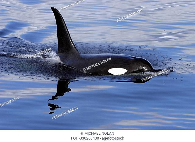 Orca Orcinus orca Bull surfacing Chatham Strait, southeast Alaska, USA