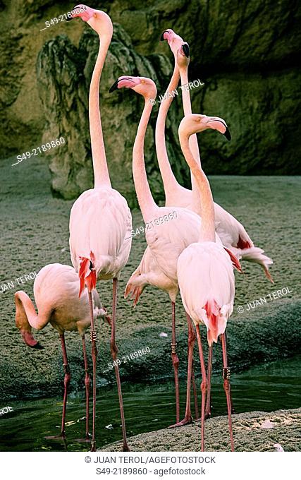 Flamingos, Bioparc, Valencia, Spain