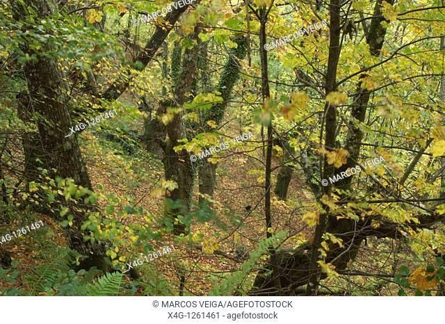 Autumnal deciduous forest  O Courel Mountains, Lugo, Galicia, Spain