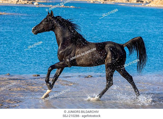 Arabian Horse. Black stallion galloping on a beach in shallow water. Egypt