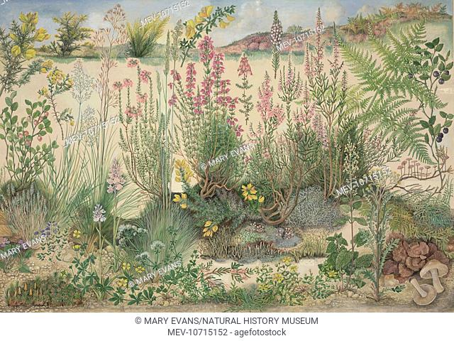 Original artwork for Heathland by Barbara Nicholson, signed B.E.N. copyright British Museum (Natural History) 1973, printed in England by Lund Humphries