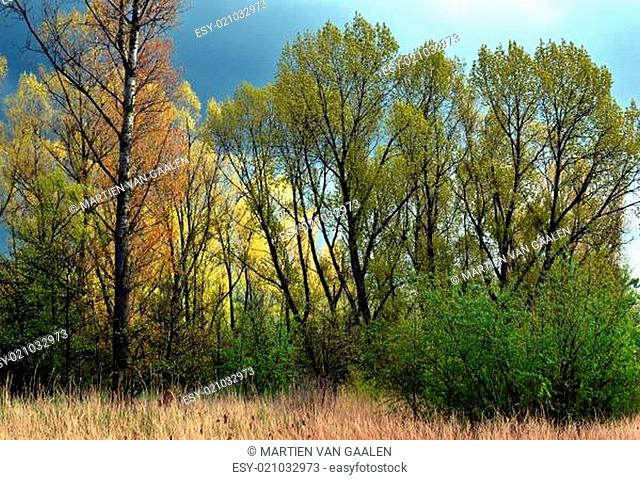 Poplars in the spring with an impending air in The Vlietlanden, The Netherlands