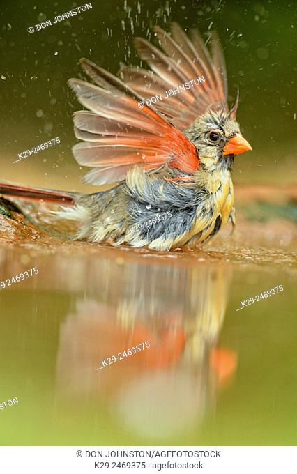 Northern Cardinal (Cardinalis cardinalis) Female Bathing at the waterhole, Rio Grande City, Texas, USA