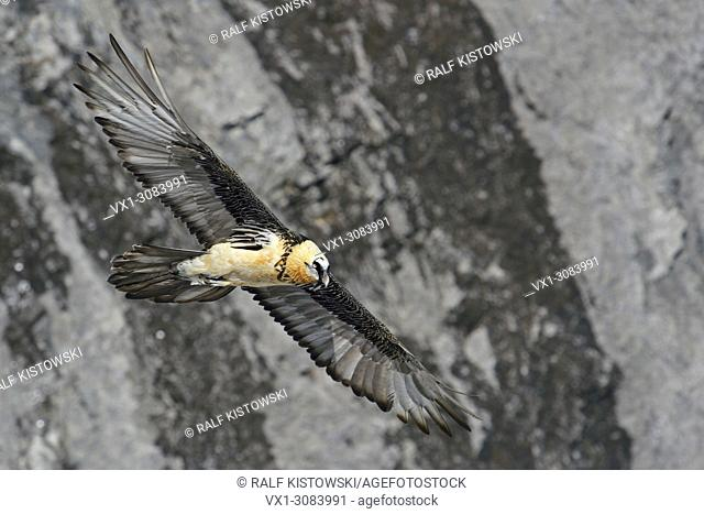 Bearded Vulture ( Gypaetus barbatus ) flying in front of a steep cliff / slope, wildlife, Europe