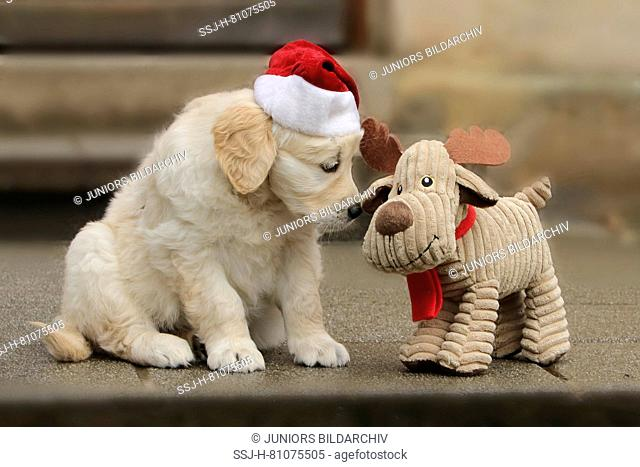 Golden Retriever. Puppy (7 weeks old) wearing Santa Claus hat sitting next to plush reindeer. Germany