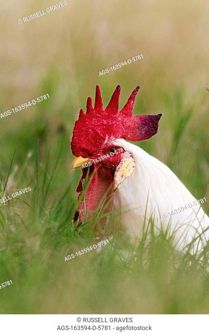 Livestock - White Leghorn rooster in a field of tall grass / TX - Childress