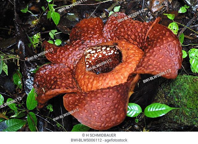 giant flower Rafflesia arnoldii, largest flower of the world, Borneo