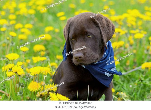 Labrador retriever puppy, 12 weeks old Scotty sitting in a dandelion meadow, looking moony