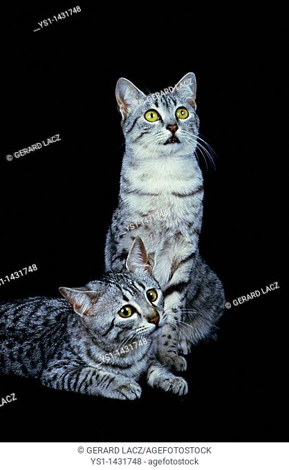 EGYPTIAN MAU DOMESTIC CAT, PAIR OF ADULTS AGAINST BLACK BACKGROUND
