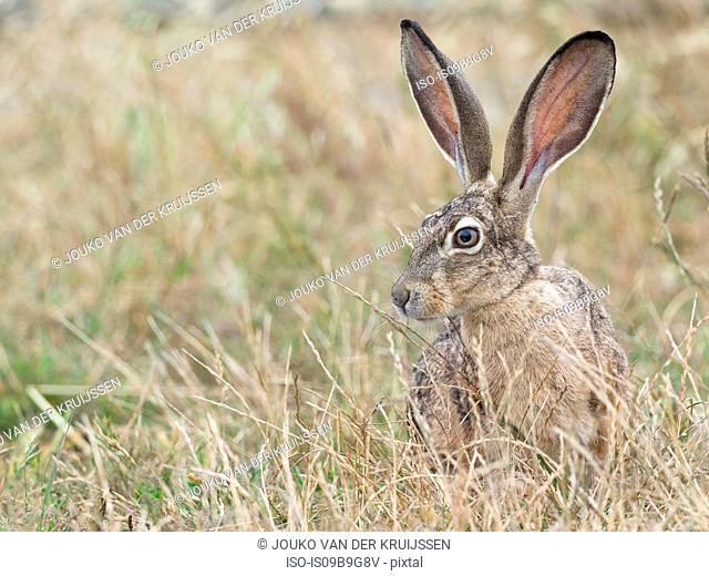 Black-tailed jackrabbit (Lepus californicus) in long grass, Point Reyes National Seashore, California, USA