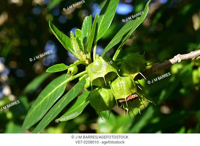 Canary orobal (Withania aristata) is a shrub native to Canary Islands. Fruits and leaves detail