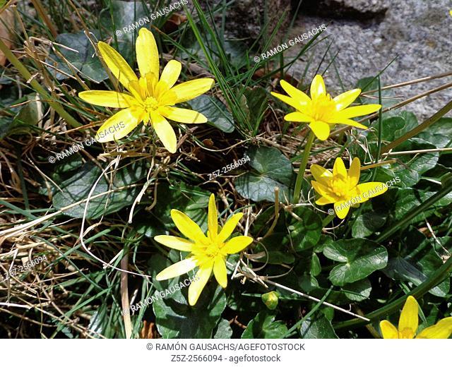 Lesser celandine (Ranunculus ficaria). Catalonia, Spain