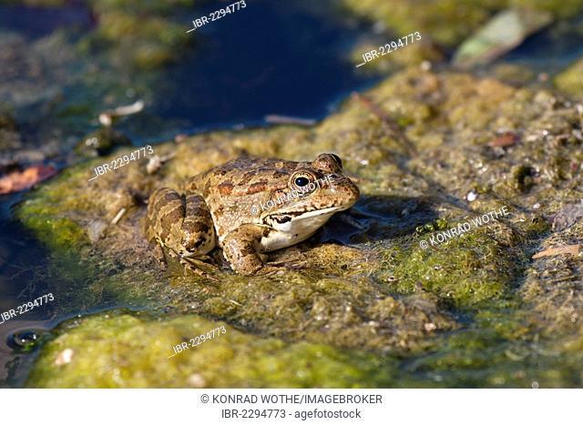 Marsh Frog (Rana ridibunda) in a pond, Lycian Coast, Lycia, Turkey, Asia Minor