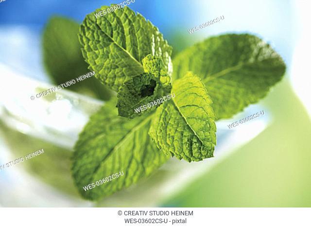 Spanish Mint, Mentha spicata