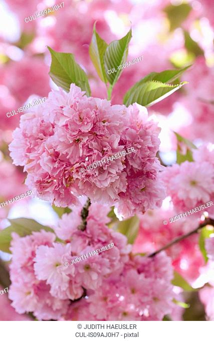 Close up of pink cherry blossom