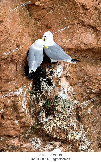 black-legged kittiwake (Rissa tridactyla, Larus tridactyla), pair at bird rock, Germany, Schleswig-Holstein, Heligoland