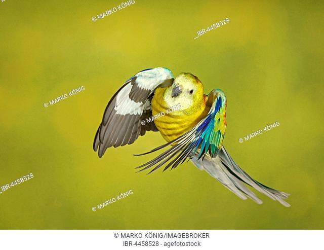Red-rumped parrot, also red-backed parrot (Psephotus haematonotus) in flight, captive, Germany