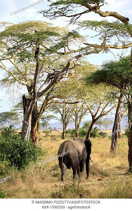 African Elephant Loxodonta africana, Selous Game Reserve, Tanzania