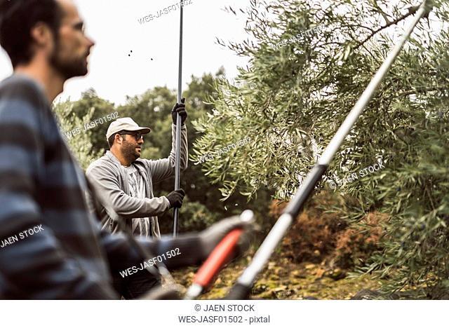 Spain, two men harvesting olives