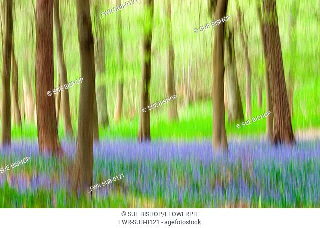 Hyacinthoides, variety not idetified, Bluebell wood