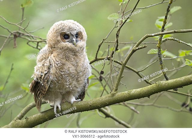 Tawny Owl (Strix aluco), young fledgeling, owlet, moulting chick, perched on a branch, its dark brown eyes wide open, cuteness, wildlife, Germany, Europe