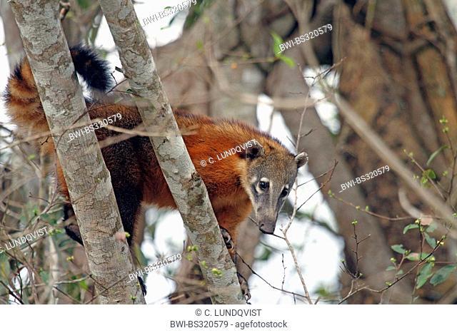 coatimundi, common coati, brown-nosed coati (Nasua nasua), sitting on a tree looking down, Brazil, Mato Grosso, Pantanal