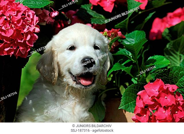 Golden Retriever. Portrait of a puppy with flowering Hydrangea. Germany
