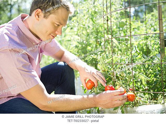 USA, New York, Flanders, Mid adult man picking tomatoes in garden
