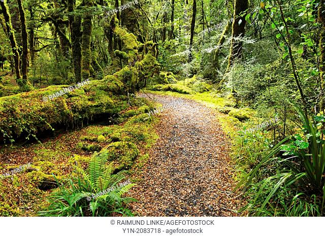 Path through Rainforest, Lake Gunn Nature Walk, Fiordland National Park, Southland, South Island, New Zealand