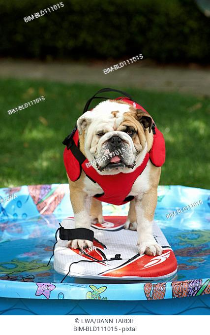 Dog standing on board in paddling pool