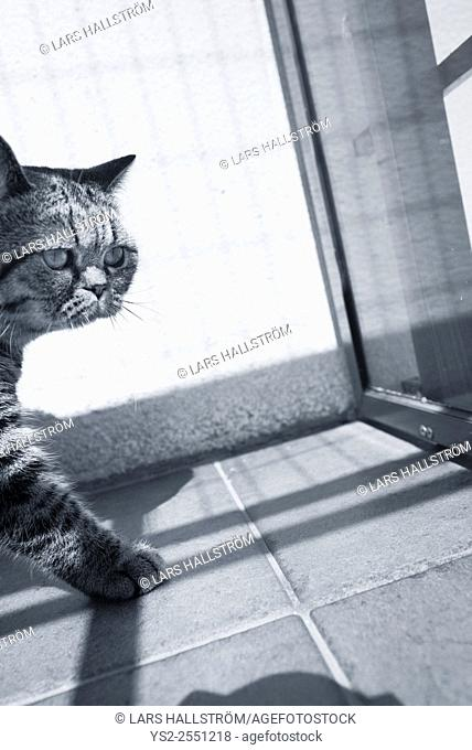British shorthair cat on balcony. Looking away with curiosity