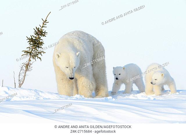 Polar bear mother (Ursus maritimus) with two new born cubs on tundra, Wapusk National Park, Manitoba, Canada