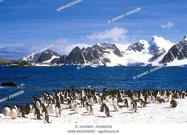 Adelie Penguins (Pygoscelis adeliae) Laurie I., South Orkneys Is., Antarctica