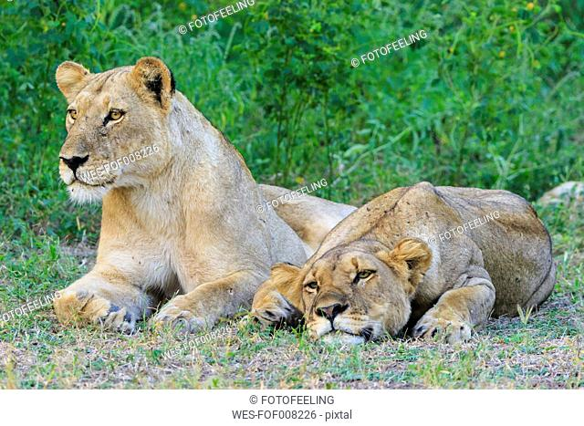 Zimbabwe, Urungwe District, Mana Pools National Park, two tired lionesses