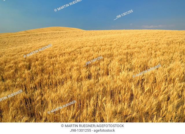 Ripe Wheat field ready for harvesting at the Palouse Region  The verdant Palouse stretches across more than 2 million acres in eastern Washington and western...