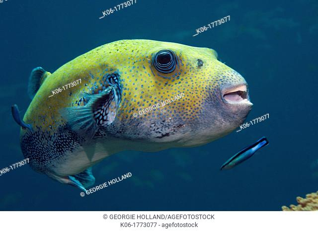 Star puffer Arothron stellatus, being cleaned by a Bluestreak cleaner wrasse Labroides dimidiatus  Andaman Sea, Thailand